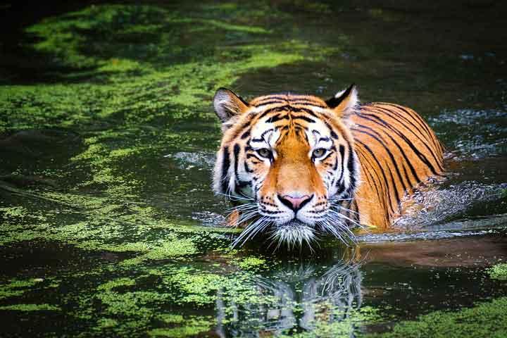 warum geht ein tiger ins wasser