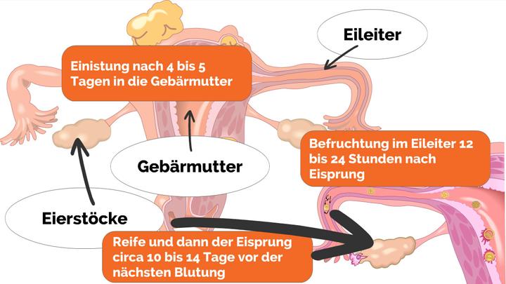 schwangerschaftswochen 1 bis 4 was passiert